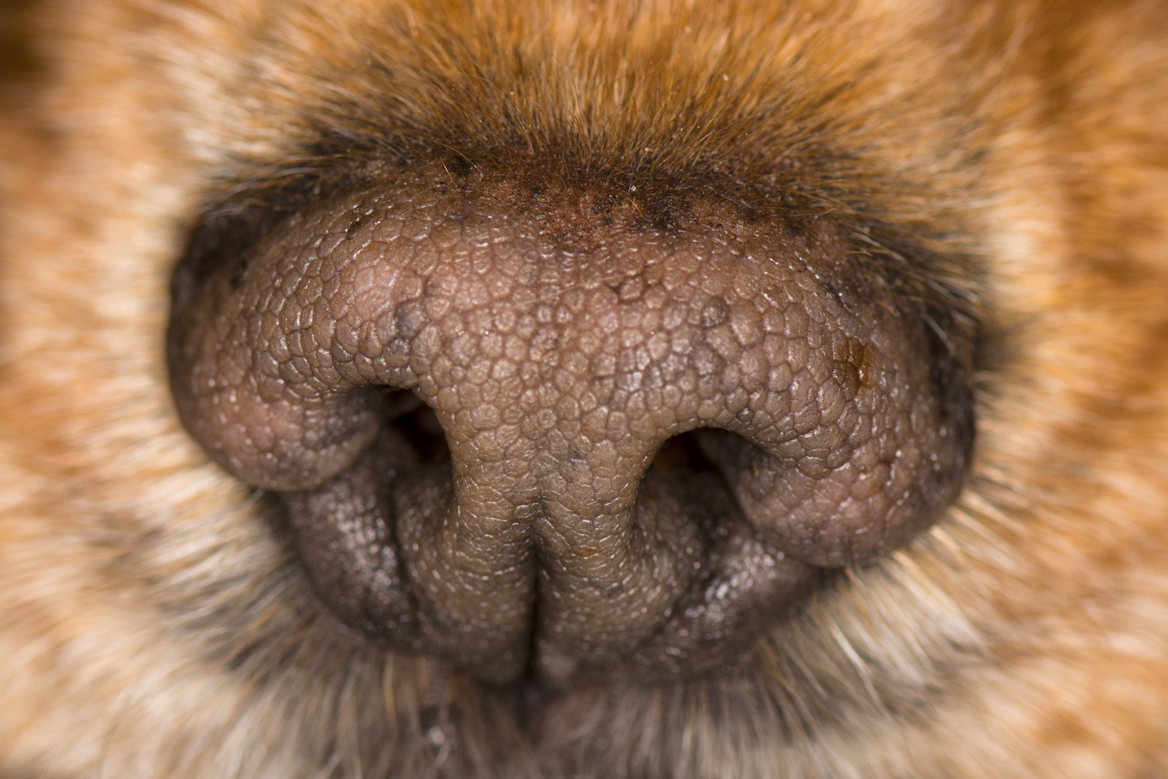 dog nose macro close up detail