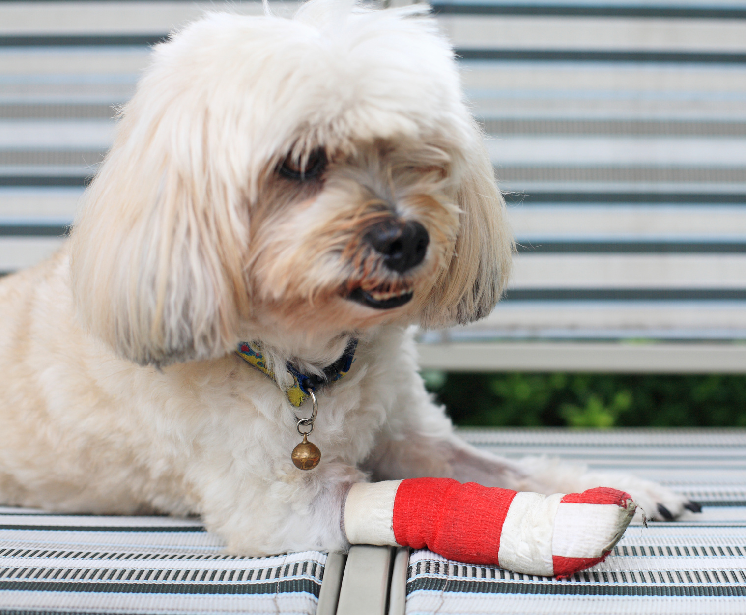 red bandage on front injured leg of Shih Tzu
